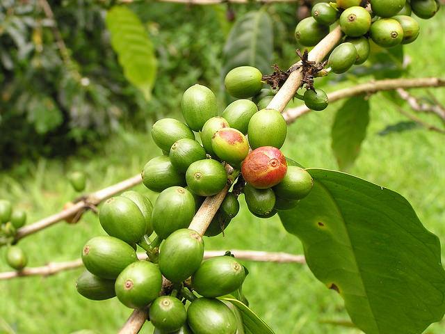 grüne Kaffeebohnen